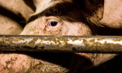 In provincia di Brescia più maiali che abitanti