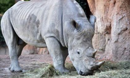 Creati i primi embrioni in vitro che potranno salvare il rinoceronte bianco dall'estinzione