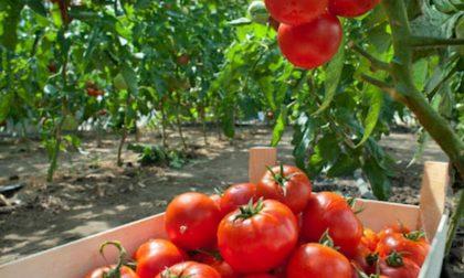 Al via la raccolta del pomodoro: l'80% delle coltivazioni tra Cremona e Mantova