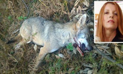 """""""La caccia va abolita"""". E in Veneto ammazzano anche i lupi"""