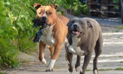 """I due grossi cani """"colpiscono"""" ancora e mordono una 57enne"""