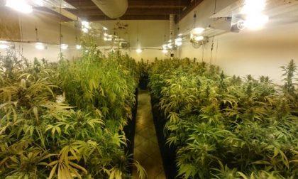 Piccola coltivazione di marijuana casalinga… solo 316 piante! VIDEO