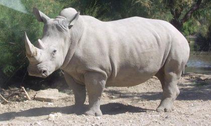 """Estinzione rinoceronte bianco: a Cremona la """"fecondazione assistita"""" che li salverà"""