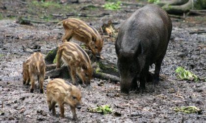 """L'assessore regionale Rolfi sul problema cinghiali: """"I cacciatori tutelano l'ecosistema"""""""
