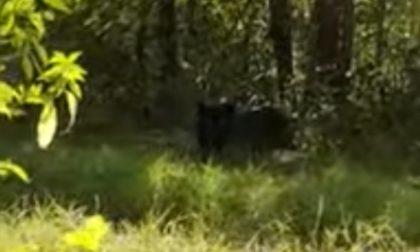 Ritorna l'allarme pantera a Cremona: il felino ripreso in un video