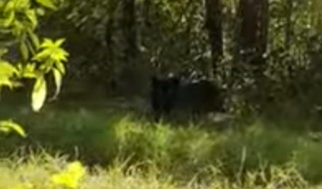 """Allarme pantera, l'autore del video confessa: """"Solo un grosso gatto"""" VIDEO"""