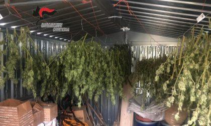 50 piante di cannabis e mezzo kg di marijuana nel box: arrestato 48enne