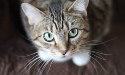 Coronavirus, non disinfettate i gatti con la candeggina: morto un micio nel Cremasco