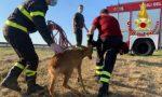 Capriolo finisce in fosso pieno d'acqua, a salvarlo ci pensano i Vigili del fuoco