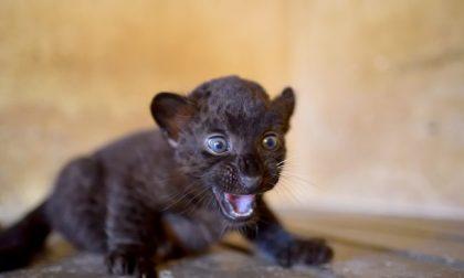 """Fiocco rosa a """"Le Cornelle"""": è nata una cucciola di pantera nera FOTO"""