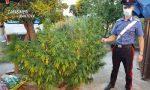 Blitz antidroga, sequestrate 530 piante di marijuana: 47enne in manette FOTO