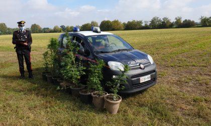 Blitz antidroga: carabinieri scovano due coltivazioni di marijuana nei campi
