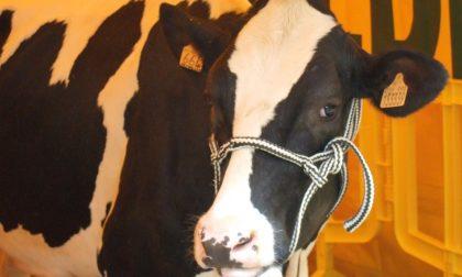 Latte, nuovo prezzo alla stalla: trovato l'accordo in Lombardia