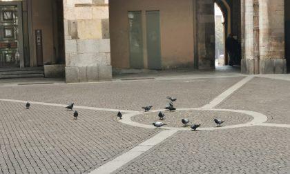 Il Comune dichiara guerra ai piccioni, iniziata la fase sperimentale di contenimento a Cremona FOTO