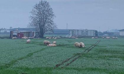 Camion carico di maiali si ribalta: decine di animali fuggono liberi nei campi