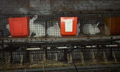 Sequestrato allevamento di conigli: vivevano in pessime condizioni igieniche, privi di cibo e tra i loro escrementi