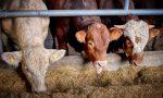 Mucca pazza: a 20 anni dal primo caso l'Italia è la più green in Europa