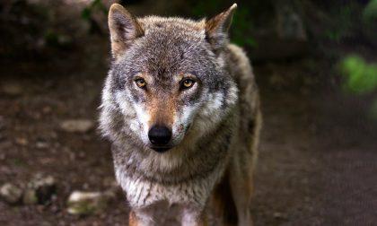 Lupo avvistato nelle campagne: è allarme a San Bassano