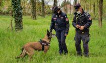 Esche e bocconi avvelenati disseminati nei campi di Pozzaglio, denunciato un residente