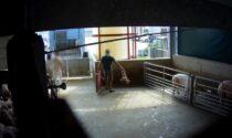 Nuova inchiesta choc: crudeltà in un macello di maiali nel cremonese