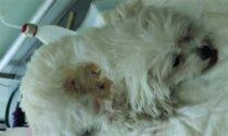 Rottweiler azzanna e uccide un Maltese Toy