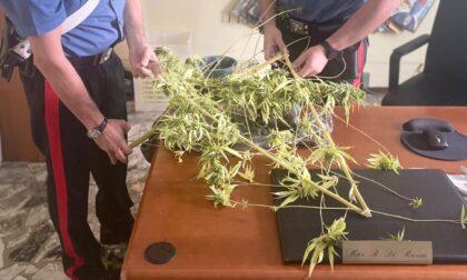 I carabinieri arrivano per sedare una lite e scoprono che coltivava marijuana in casa